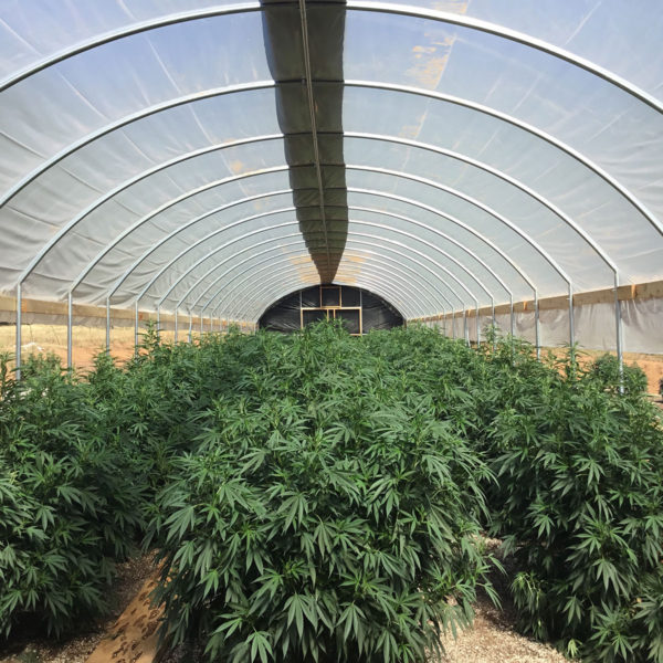 Large grow in a 20ft light deprivation greenhouse