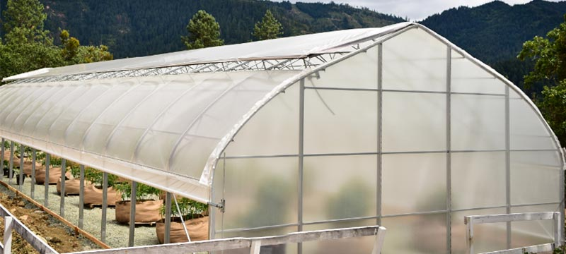 Traditional greenhouse for growing cannabis